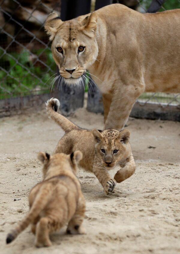 Nowonarodzone lwiątka berberyjskie z lwicą w ogrodzie zoologicznym w Dvůr Králové nad Labem, Czechy - Sputnik Polska