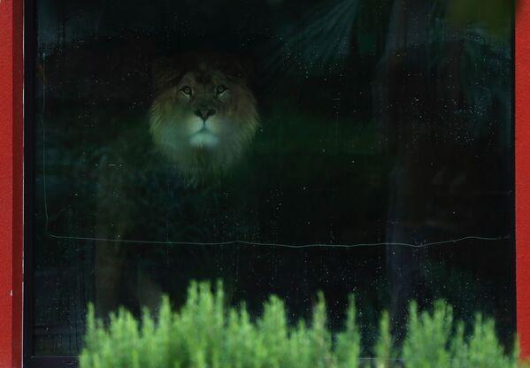 Lew berberyjski w ogrodzie zoologicznym w Dvůr Králové nad Labem, Czechy - Sputnik Polska