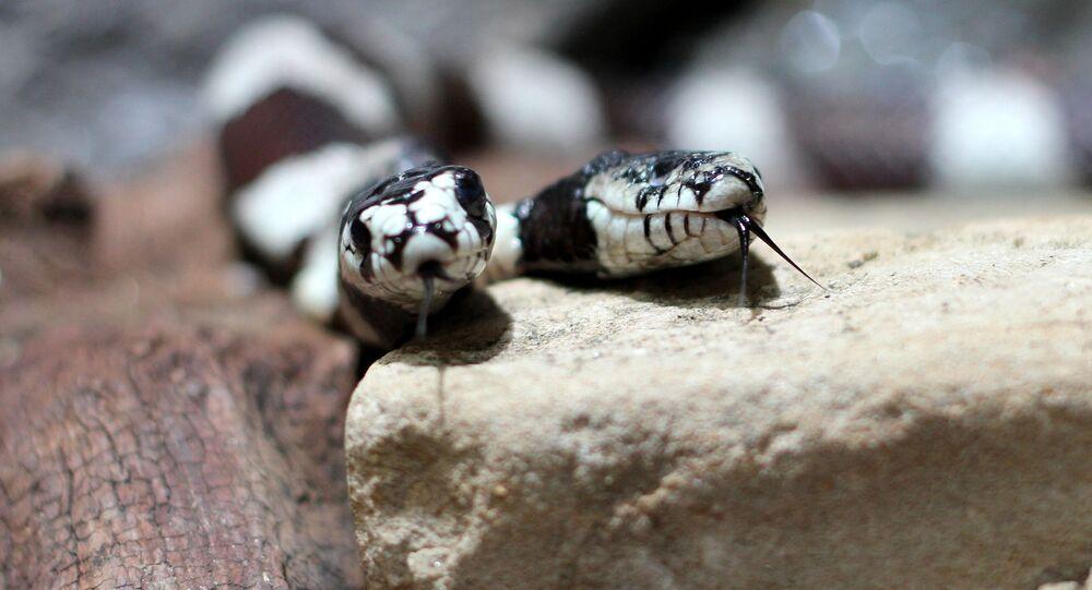 Dwugłowy wąż.
