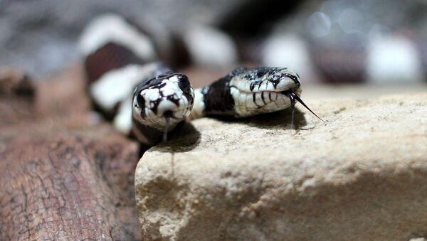 Dwugłowy wąż - Sputnik Polska