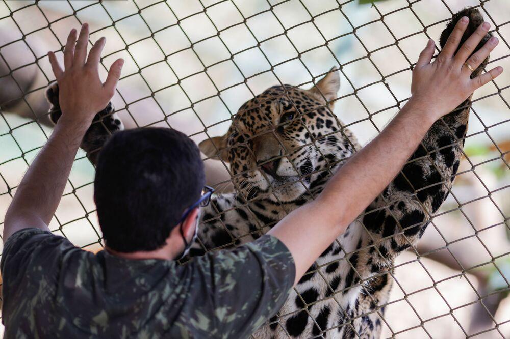 Jaguar w centrum zwierząt NGO Nex Institute w Brazylii