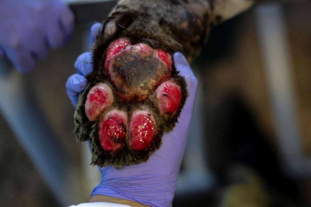 Łapa jaguara, który ucierpiał w pożarze.