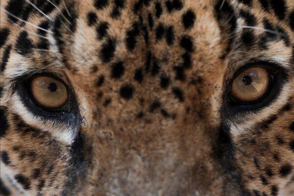 Jaguar w centrum zwierząt NGO Nex Institute w Brazylii - Sputnik Polska
