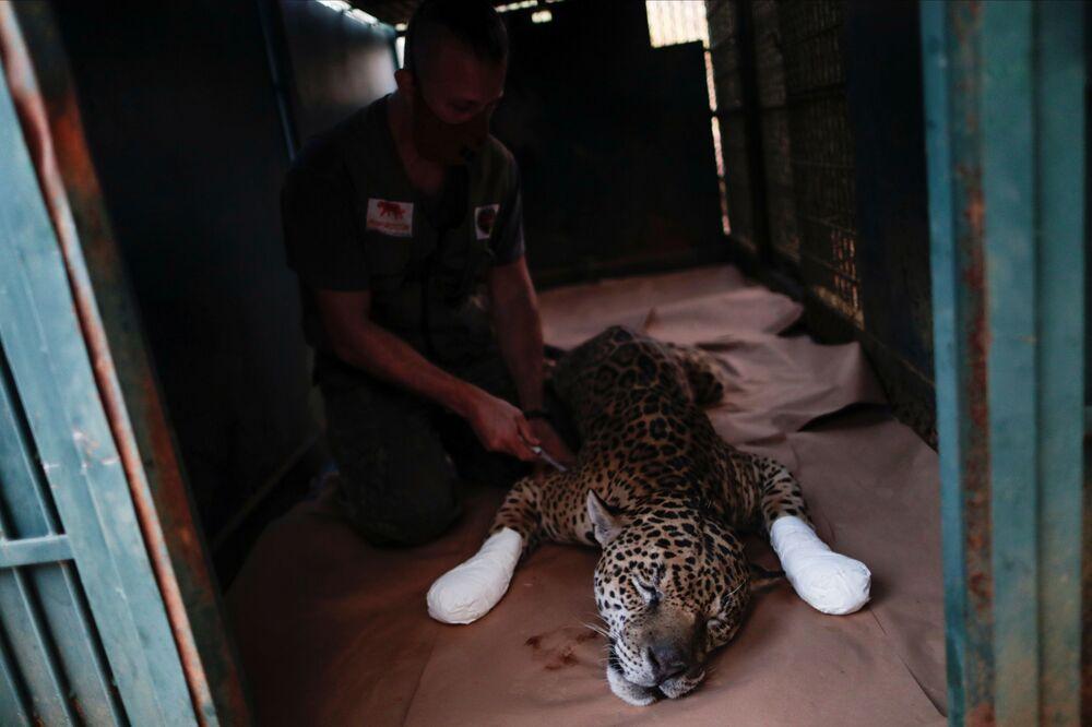 Wiele jaguarów zostaje znalezionych w lasach i przy drogach z poparzonymi łapami i zatruciem tlenkiem węgla.