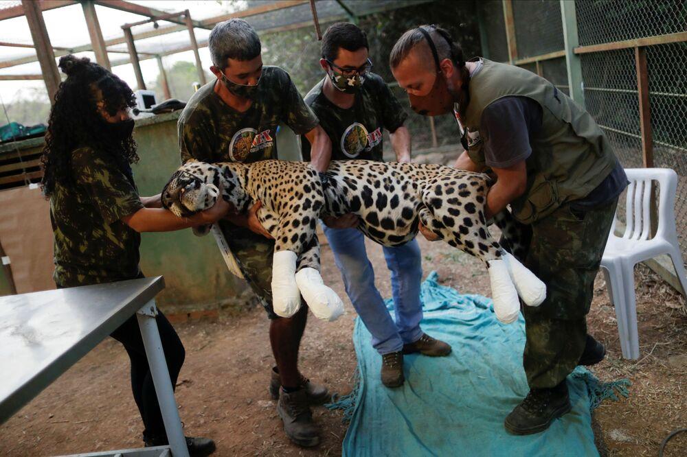 Członkowie organizacji NGO Nex Institute Center udzielają pomocy jaguarowi o imieniu Osado.