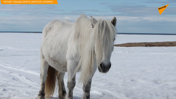 Zdziczałe syberyjskie konie potrzebują pomocy. Ale skąd się wzięły? - Sputnik Polska