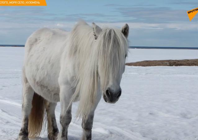 Zdziczałe syberyjskie konie potrzebują pomocy. Ale skąd się wzięły?