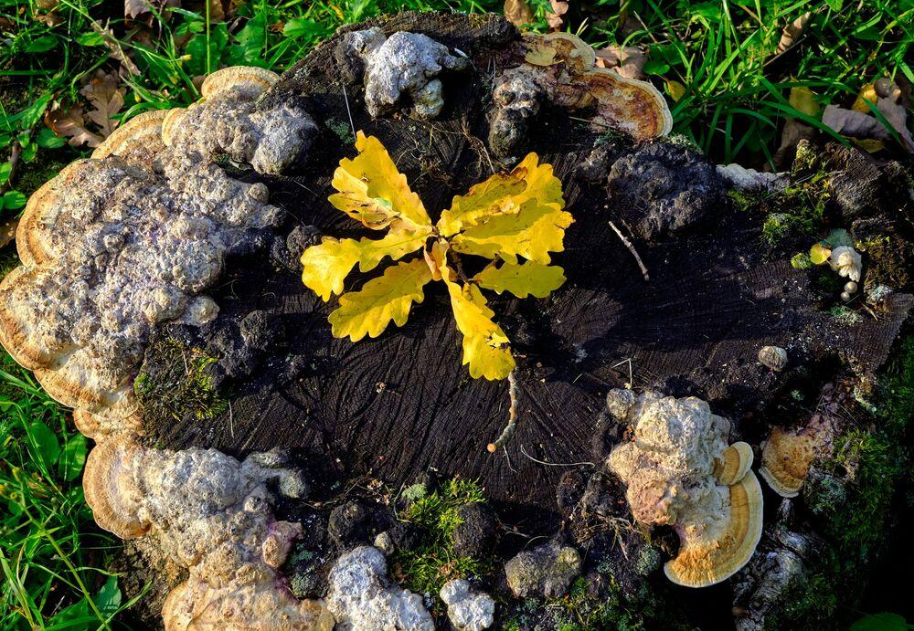 Żółte liście dębu