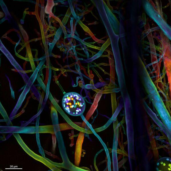 Zdjęcie fotografów Dr. Vasileios Kokkoris, Dr. Franck Stefani & Dr. Nicolas Corradi - uczestników konkursu Nikon Small World 2020 - Sputnik Polska