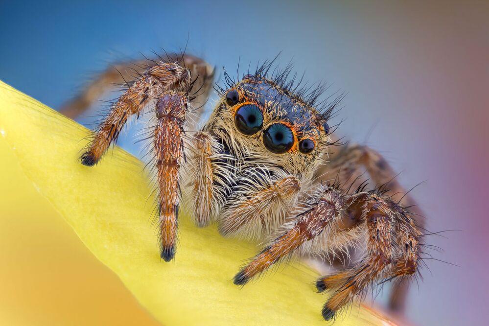 """Zdjęcie  """"Jumping spider"""" fotografa Andrei Nica uczestniczącego w konkursie Nikon Small World 2020"""