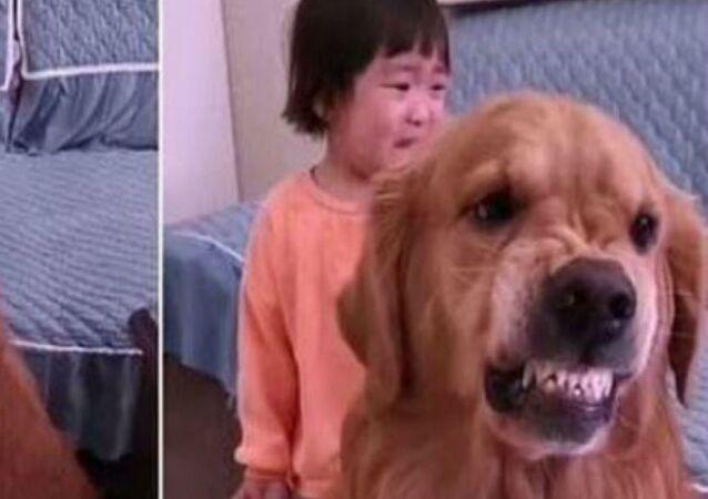 Pies warczy i broni dziecko przed gniewem mamy