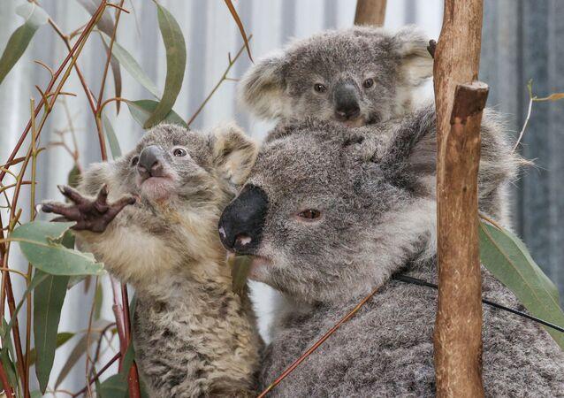 Koale w Australii