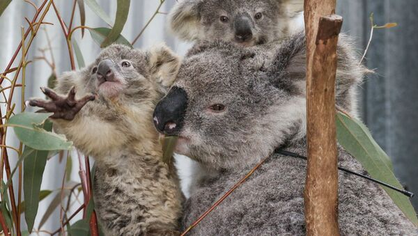 Koale w Australii - Sputnik Polska