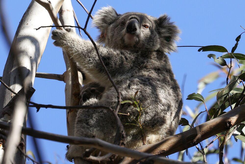 Koala z jej małym w schronisku Science for Wildlife