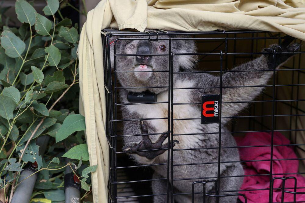 Ta koala już niedługo wróci do lasu
