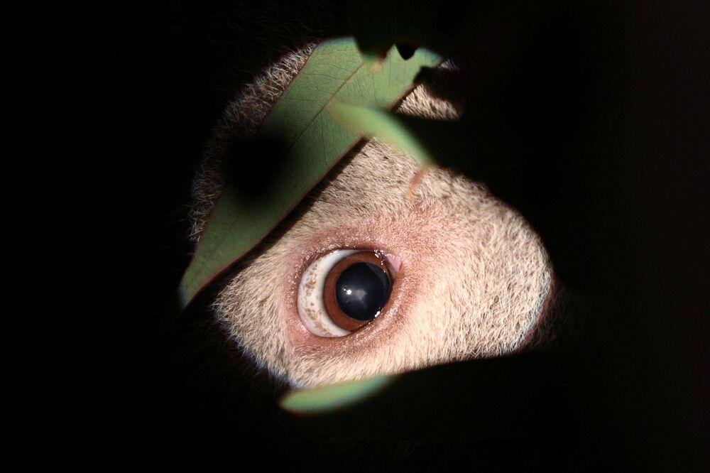 Oko koali