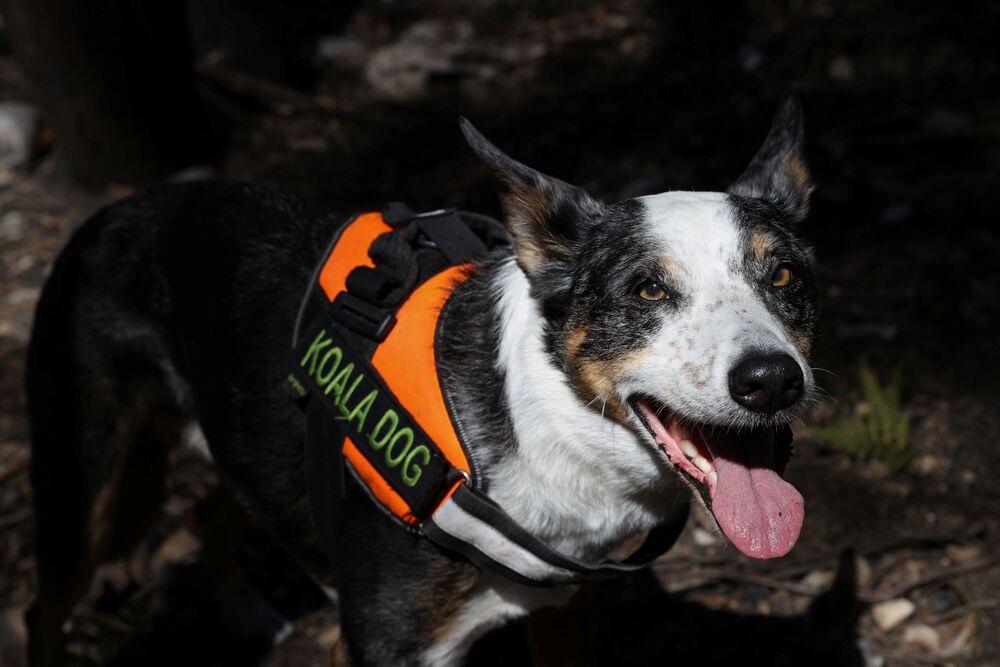 Pies ratowniczy dla koali, Australia