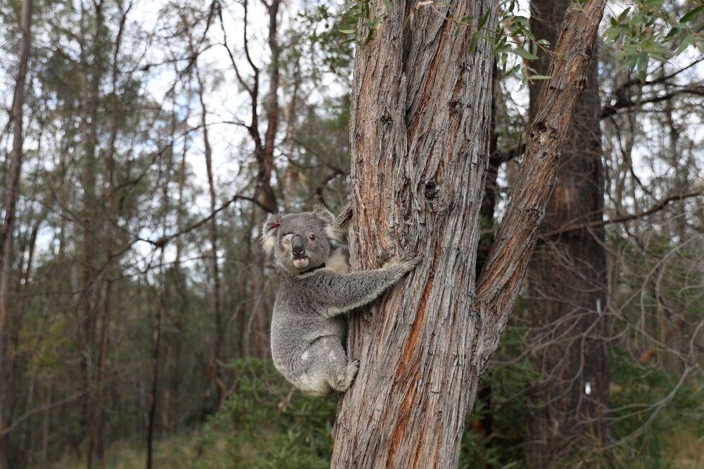 Uratowana koala na wolności