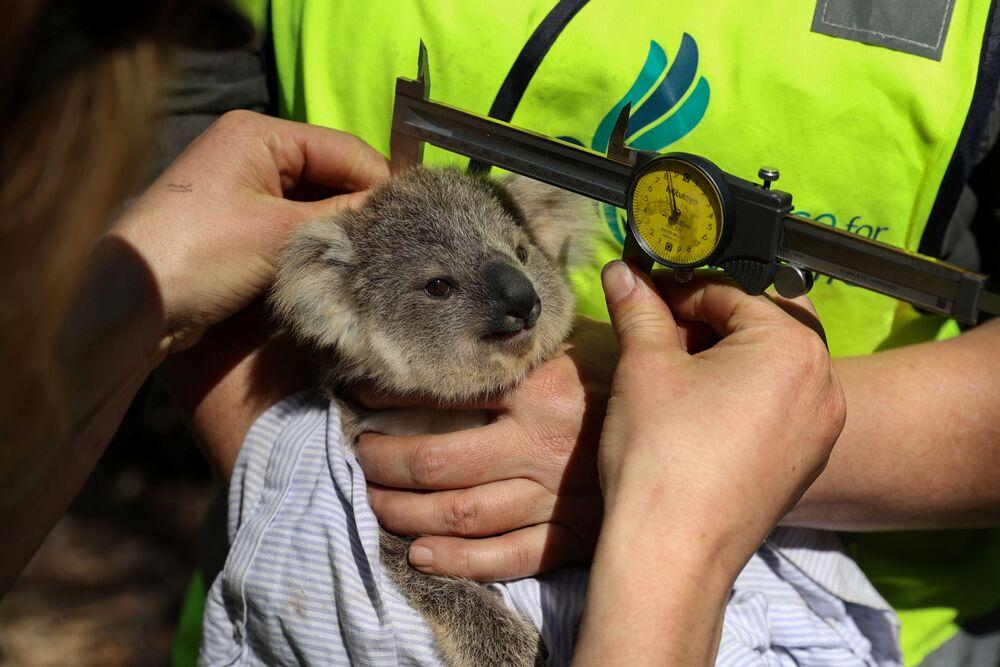 Koala w centrum rehabilitacji Science for Wildlife