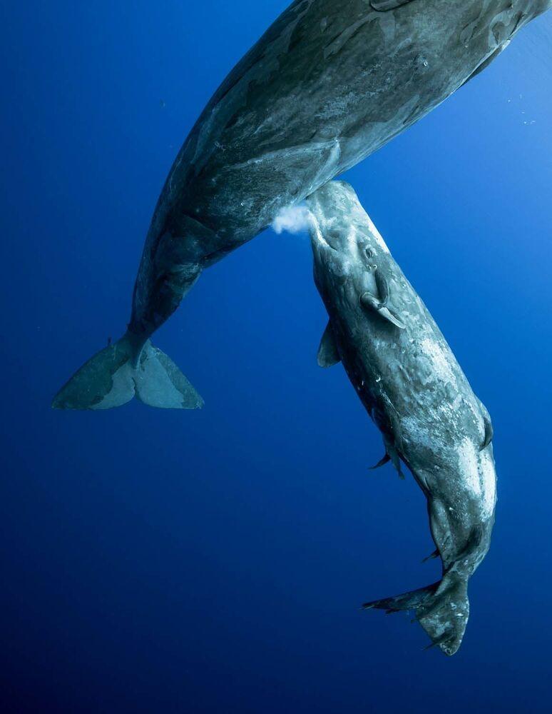 """Fotografia """"Whale milk"""" rosyjskiego fotografa Mike'a Korosteleva, zwycięzcy w kategorii Podwodny świat w konkursie European Wildlife Photographer of the Year 2020."""
