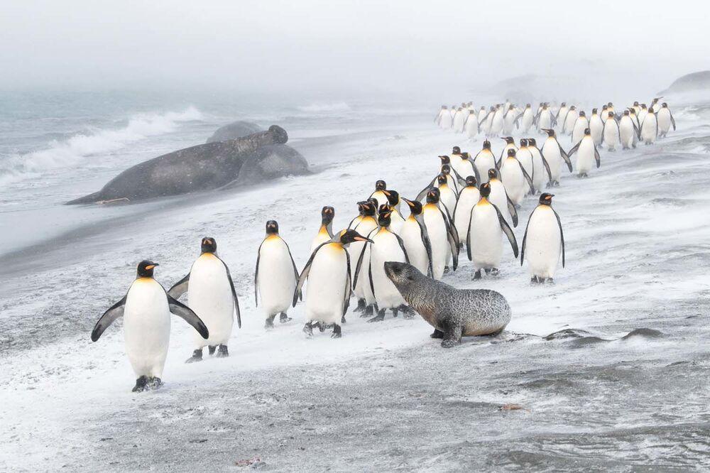 """Fotografia """"Penguin defence"""" zrobiona przez brytyjskiego fotografa Bena Cranke'a, zwycięzcę konkursu European Wildlife Photographer of the Year 2020 w kategorii Ptaki."""