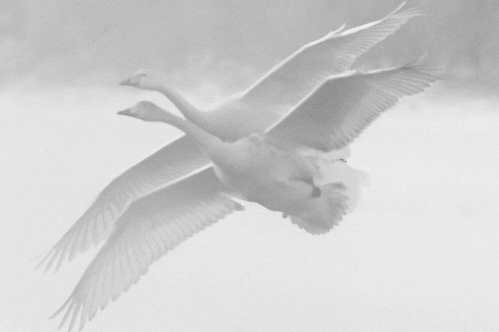 """Łabędzie krzykliwe na Jeziorze Łabędzim na terytorium Państwowego Rezerwatu Przyrody """"Łabędzi"""" w Ałtajskim Kraju."""
