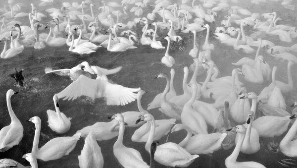 """Łabędzie krzykliwe na Jeziorze Łabędzim na terytorium Państwowego Rezerwatu Przyrody """"Łabędzi"""" w Ałtajskim Kraju - Sputnik Polska"""