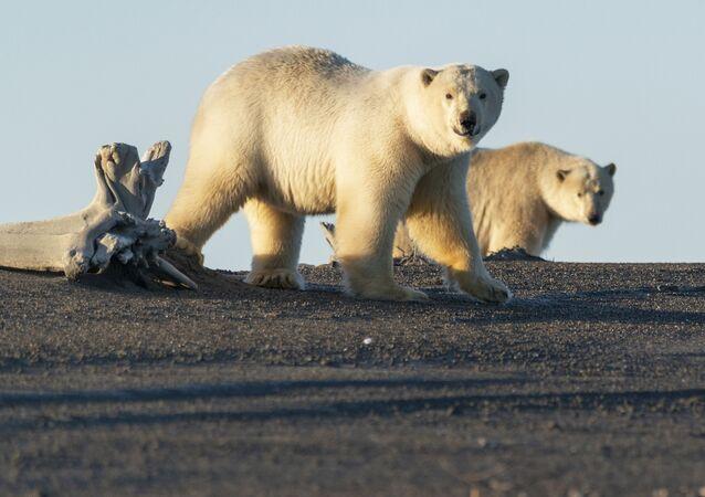 Białe niedźwiedzie niedaleko wsi Ryrkajpij na Czukotce
