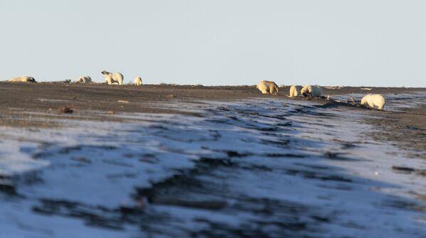 Białe niedźwiedzie niedaleko wsi Ryrkajpij na Czukotce - Sputnik Polska