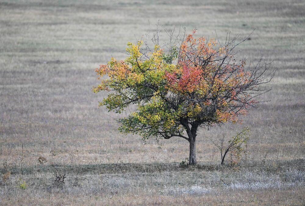 Drzewo na polu w pobliżu wsi Zielenogorskie na Krymie