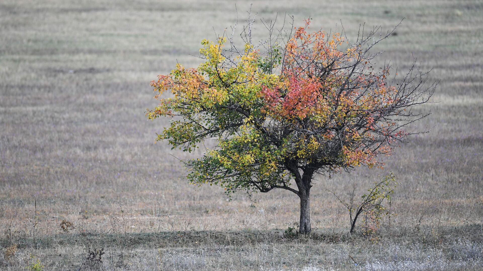 Drzewo na polu w pobliżu wsi Zielenogorskie na Krymie - Sputnik Polska, 1920, 24.06.2021