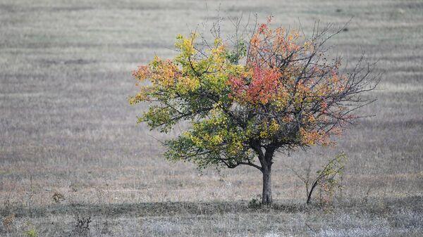 Drzewo na polu w pobliżu wsi Zielenogorskie na Krymie - Sputnik Polska