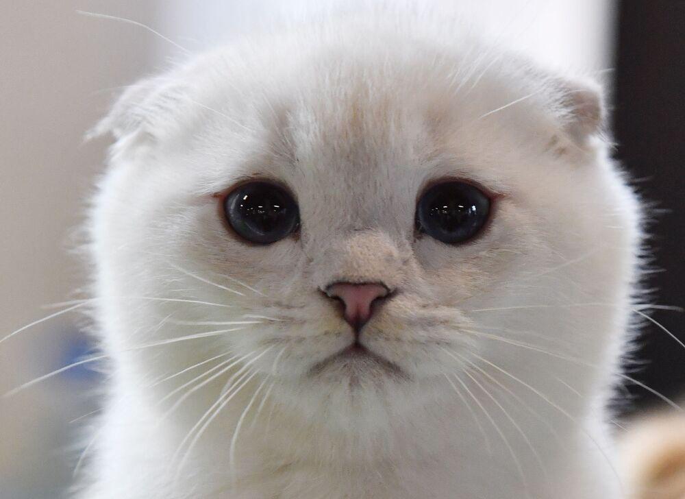 Kotek szkocki zwisłouchy na wystawie w Moskwie