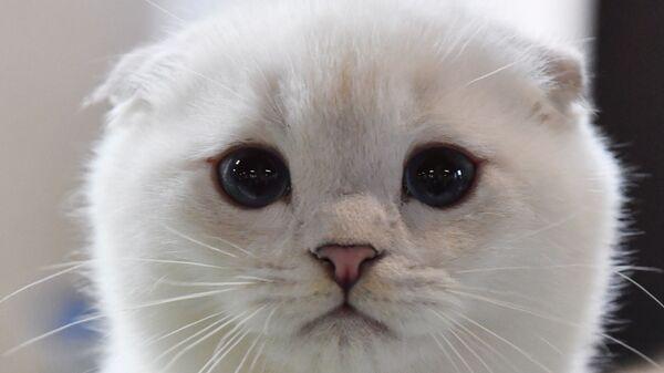 Kotek szkocki zwisłouchy na wystawie w Moskwie - Sputnik Polska