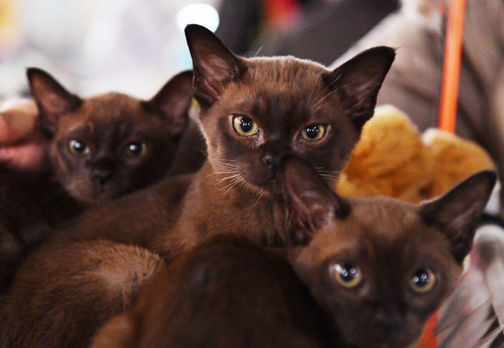 Koty burmskie na wystawie w Moskwie