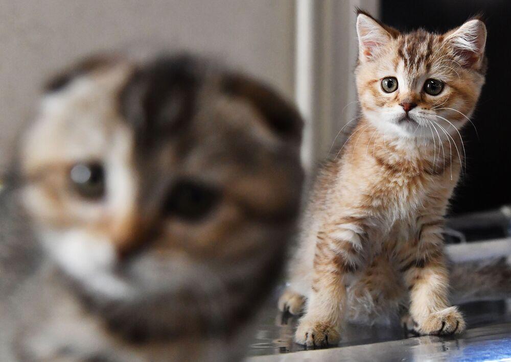 Koty rasy szkocki zwisłouchy
