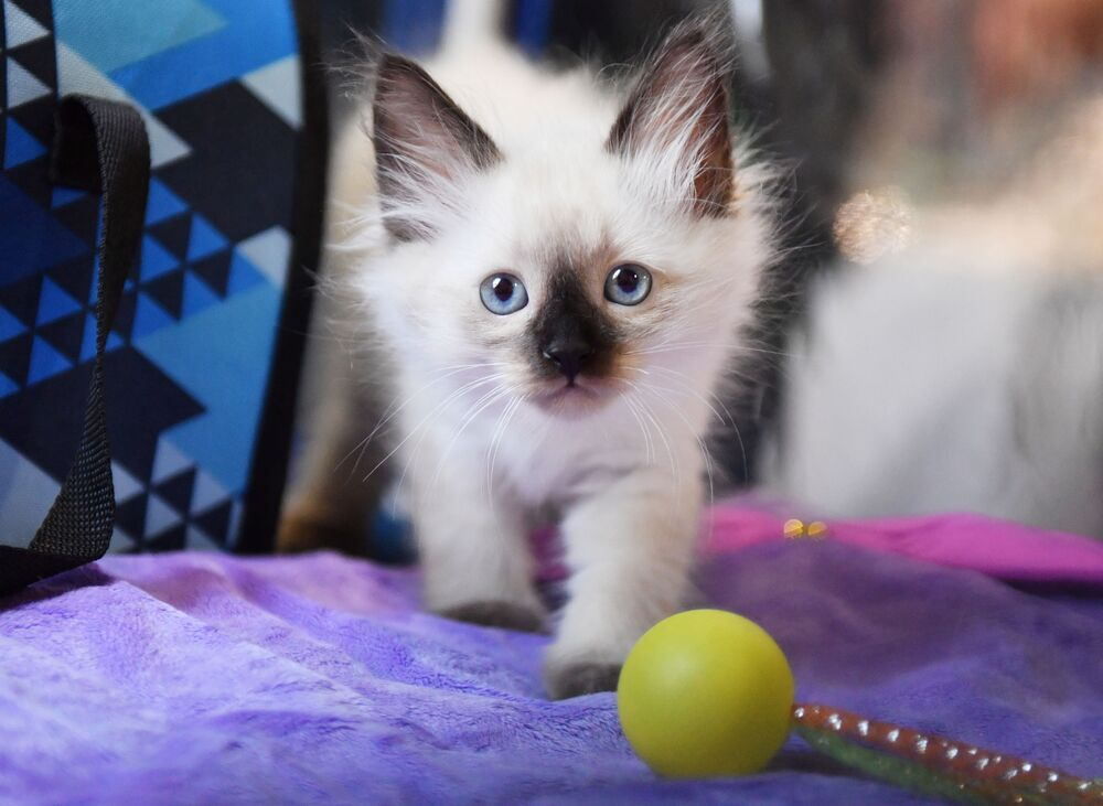 Mały kot syberyjski