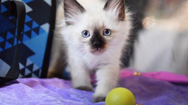 Mały kot syberyjski - Sputnik Polska