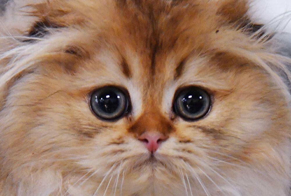 Mały kot rasy szkocki zwisłouchy długowłosy