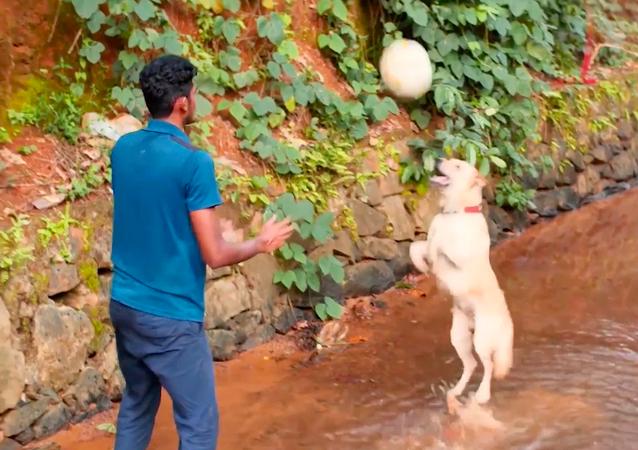 Labrador retriever gra w siatkówkę