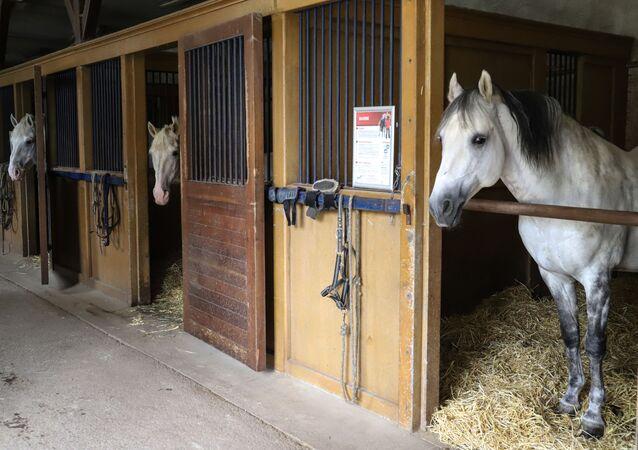 Konie w stajni Instytutu IFCE we Francji.