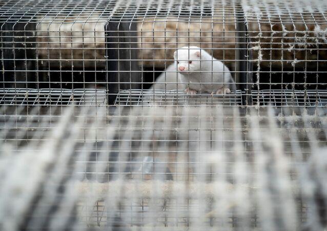 Norka w klatce na fermie norek w Danii