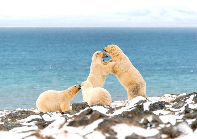 Niedźwiedzie polarne na Przylądku Kożewnikowa
