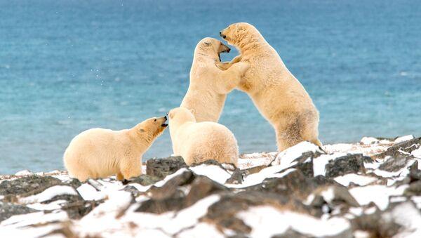 Niedźwiedzie polarne na Przylądku Kożewnikowa - Sputnik Polska
