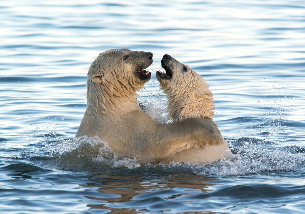 Niedźwiedzie polarne w Morzu Czukockim