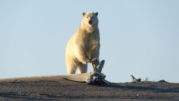 Niedźwiedź polarny szuka jedzenia - Sputnik Polska