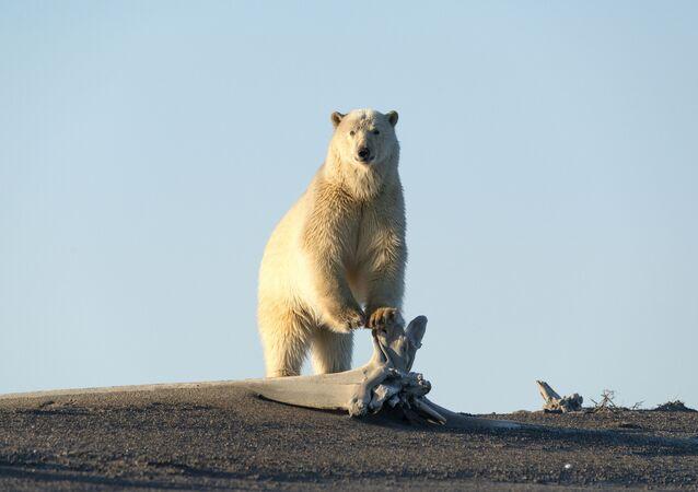Niedźwiedź polarny szuka jedzenia