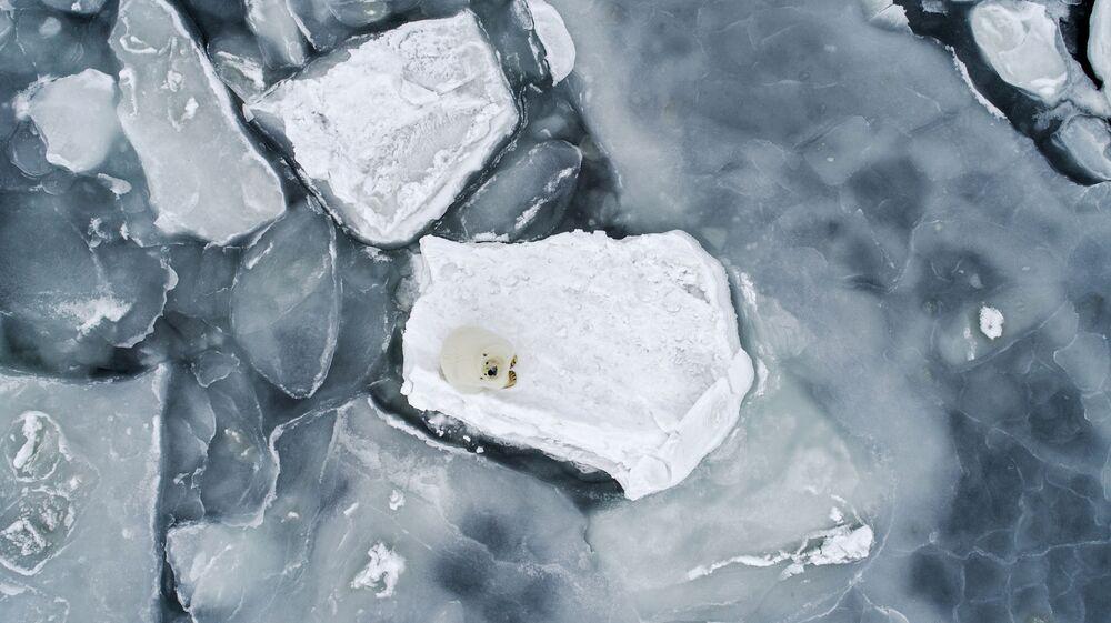 Niedźwiedź polarny w Morzu Czukockim