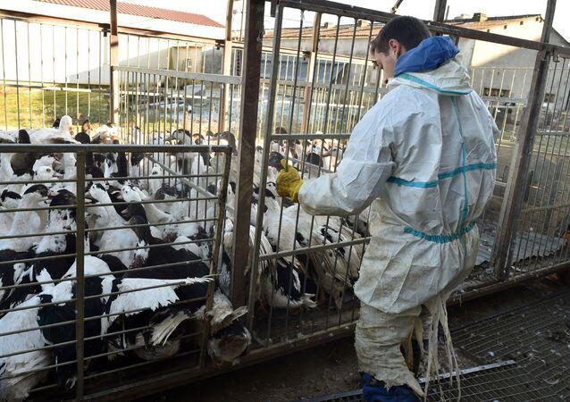 Ognisko ptasiej grypy H5N8 na fermie kaczek we Francji