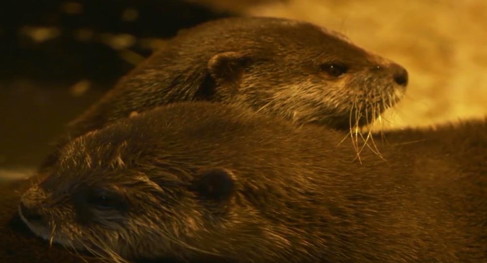 Zakochane wydry